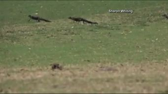 Caught on Cam: Baby Gators Follow Mother to Pond