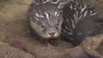 Cute Alert! Baby Otter Triplets Born in Japan