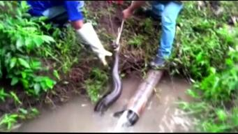 Anaconda Rescued in Peru