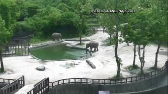 Watch: Mother, Aunt Elephants Save Baby From Drowning