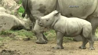 Cute Alert! Baby Rhino Makes Debut at Zoo