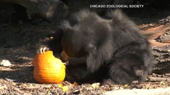 Zoo Animals Enjoy Halloween Treats
