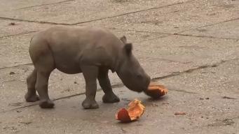 Rare Rhino Born in Czech Zoo