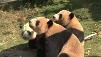 Panda Triplets Enjoy Weather