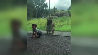 Lion Sneaks Up on Boy at Zoo