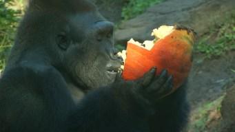 Dallas Zoo Gorillas Enjoy Fall Treats