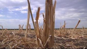 Drought Devastates Crops