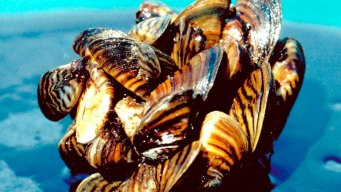 Water District Grapples With Mussels