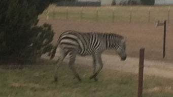 Zebra Reunited with Owner After Running Free