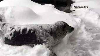 Watch: Oregon Zoo Animals Enjoy Snow Day