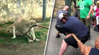Tug of War: Lion Cub vs Wrestlers
