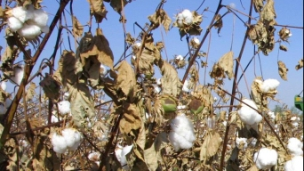 Experts Optimistic for Texas Cotton Crop