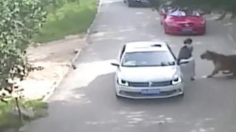 Tiger Kills Woman at Drive-Through China Wildlife Park