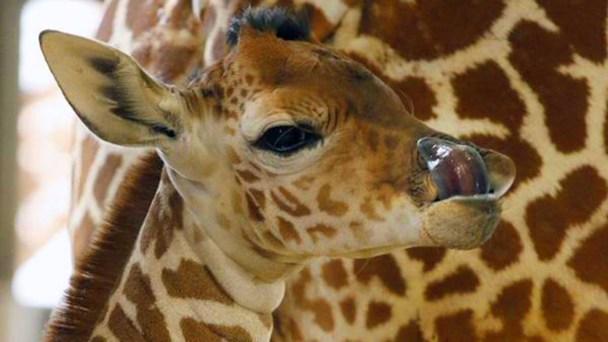 Dallas Zoo Defends Safety, Says Giraffe's Death a 'Fluke