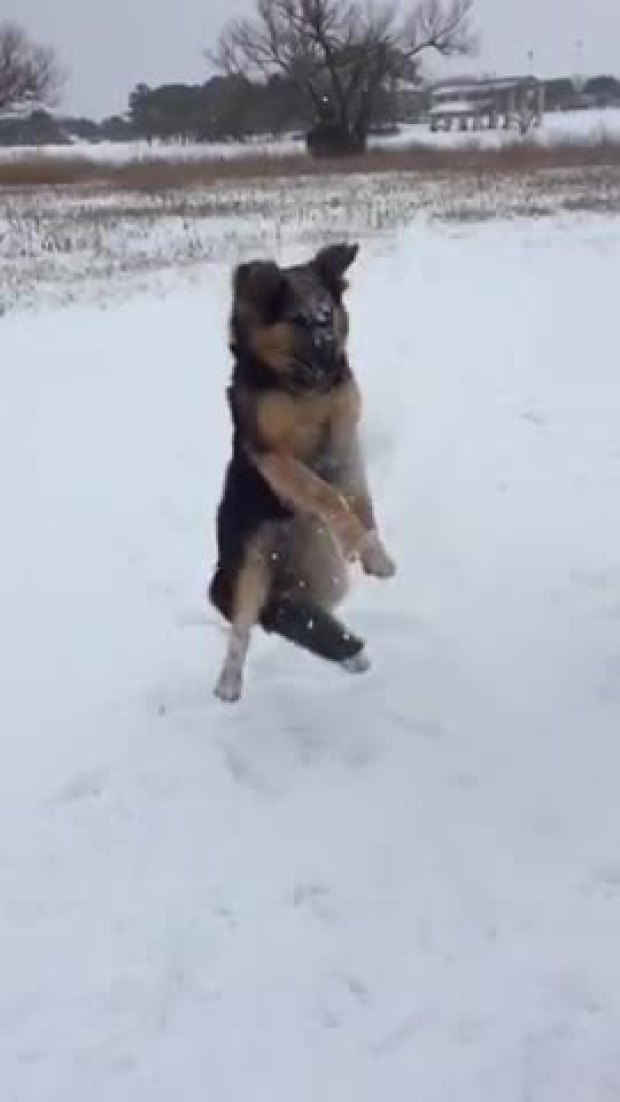 German Shepherd Puppy Playing in the Snow