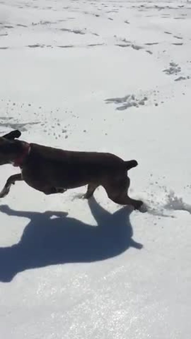 Boxers are snow fun!