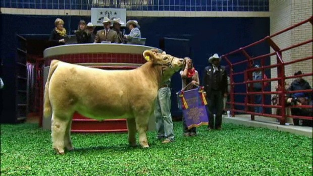 [DFW] Grand Champion Steer Sells for $185,000