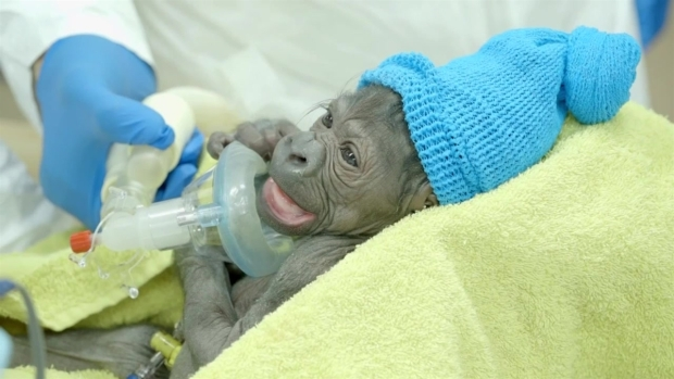 [DGO] Baby Gorilla Born at San Diego Zoo Safari Park