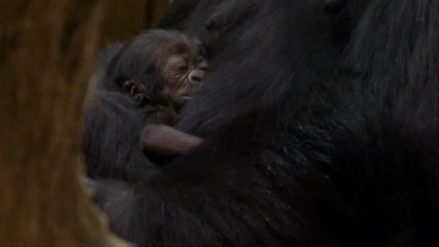 [DFW] Baby Gorilla Born in Budapest Zoo
