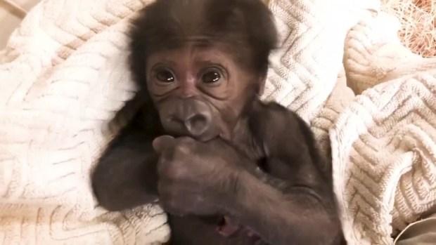 [DFW] Baby Gorilla Born at Florida Zoo