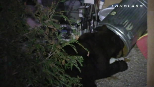 [LA] Bear Removes Trash Can Lid, Eats Cat Food Inside