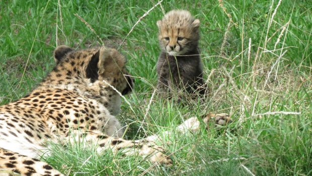 Cheetah Cubs Born at Fossil Rim in October
