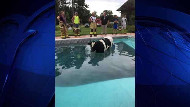 [DFW] Cow in Takes a Dip in a Pool