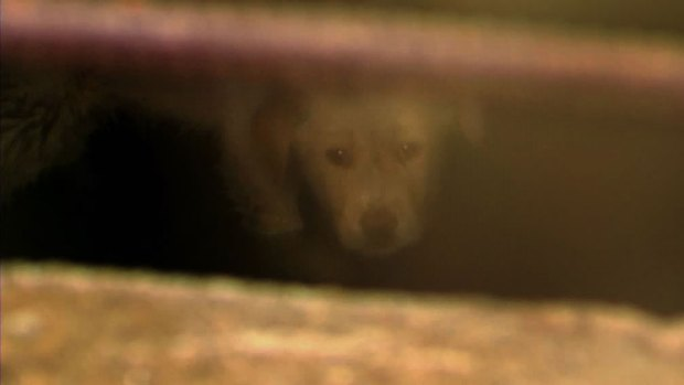 [DFW] Puppy Stuck in West Dallas Storm Drain