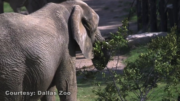 #WorldElephantDay: Celebrating the Dallas Zoo Elephants