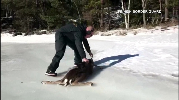 [DFW] Finnish Border Guard Comes to the Rescue of Fawn
