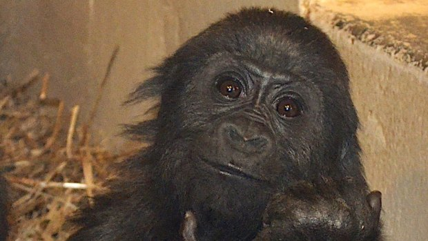 Texas Gorilla Raised by Surrogates