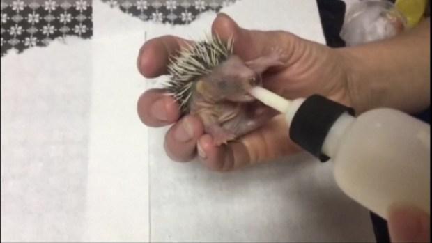 [DFW] Hedgehog Babies Rescued