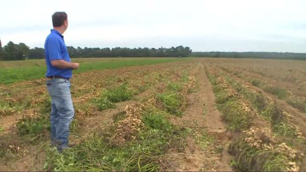[NATL] Hurricane Matthew Threatens North Carolina Peanut Harvest