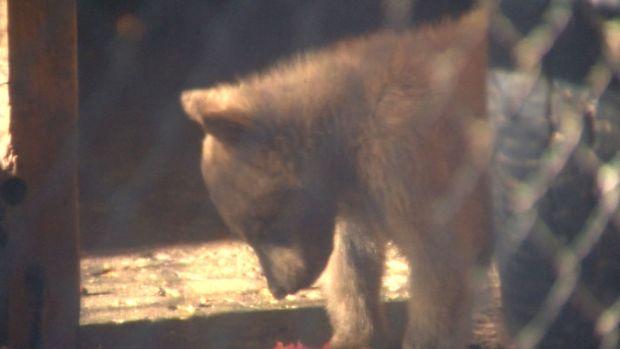 [NATL] Orphaned Bear Cubs at Yosemite Find New Temporary Home
