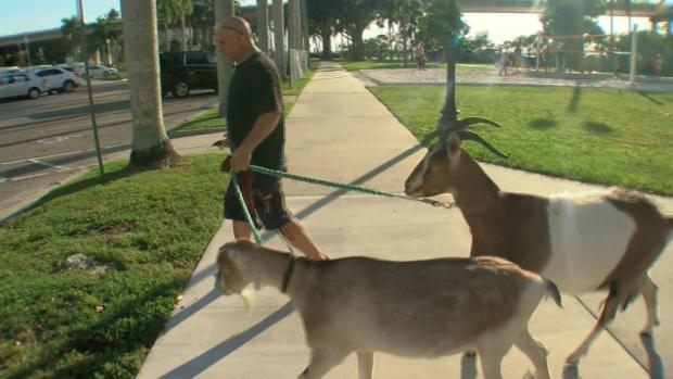 [DFW] Florida 'Goat Guy' Relies on Animals for Therapy