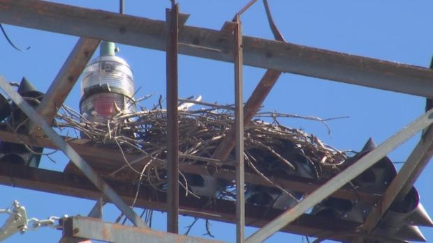 [DFW] Osprey Nest Relocated From Power Lines