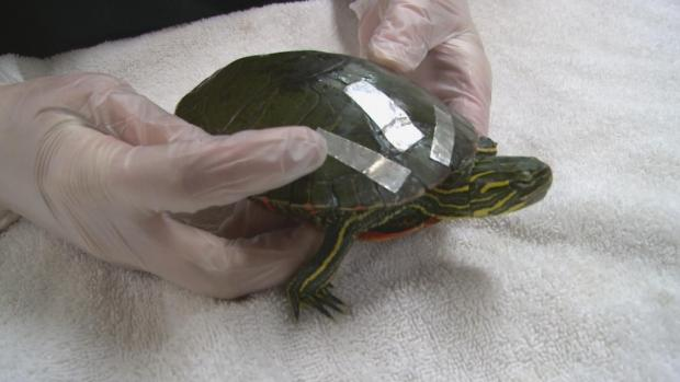 [DFW] Spring Weather Sees Rise in Number of Injured Turtles