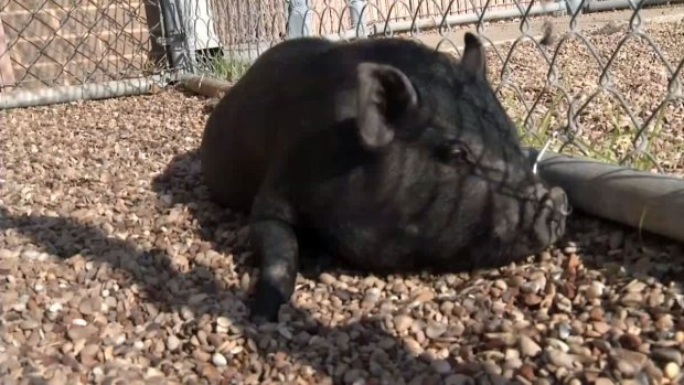 [DFW] Pot-Bellied Pig Found in Arlington