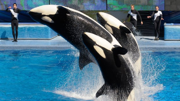[NATL-DGO] SeaWorld to Phase Out 'Theatrical' Killer Whale Show