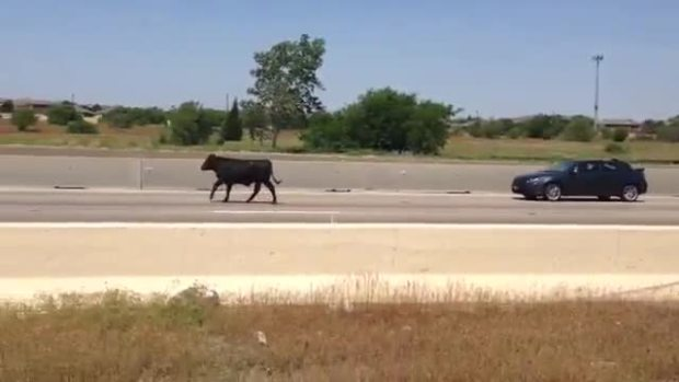 Viewer Video: Cow on Freeway