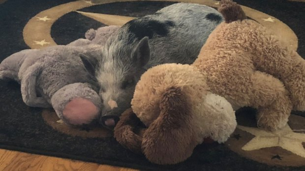 Meet Daisy Mae, a Therapy Pig Who Loves Snuggles