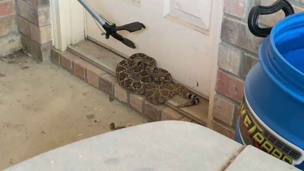 [DFW] Huge Rattlesnake Removed From Fort Worth Home