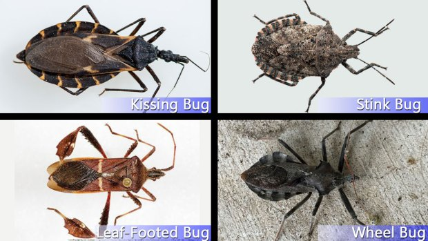 Hidden Threat: Identifying Kissing Bugs