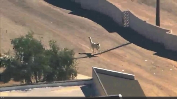 7 Seconds of a Llama Frolicking Free in Phoenix