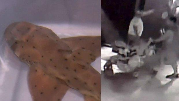 [DFW ONLY] Horn Shark Found After Being Stolen From San Antonio Aquarium
