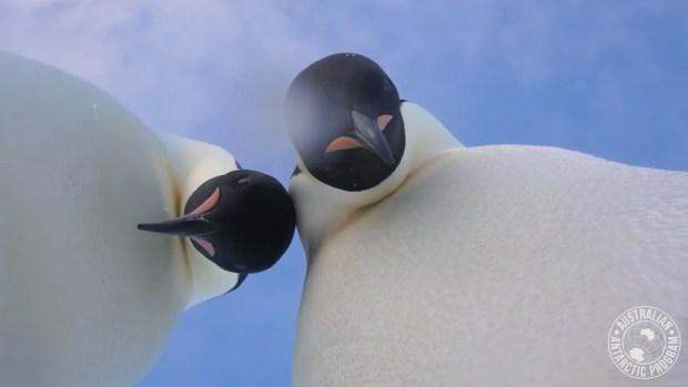 [NATL] Penguin Selfie: Curious Birds Investigate Camera in Antarctica