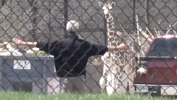 [NATL] Giraffe Escapes Enclosure for Zoo Adventure