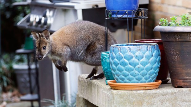 Wallaby, Yes a Wallaby, Captured in Dallas