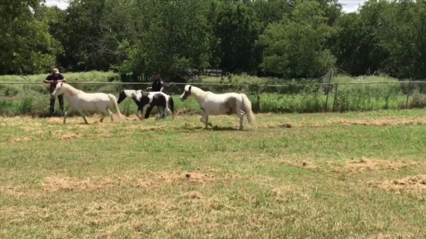 [DFW] NRH Police Catch Loose Horses