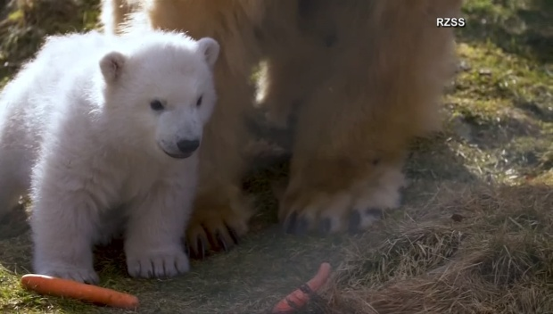 [DFW] Polar Bear Cub Makes Debut